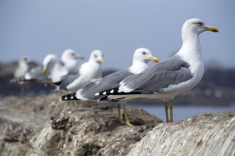 Meeuw, zeemeeuw, vogels, zee