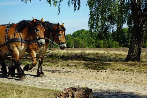 Lunenburger heide paarden, Duitsland