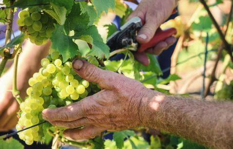Wijnboer, wijnrank, wijn, druiven, druivenstokken