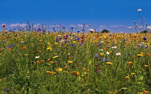 Bloemenweide, Bloemen, Natuur