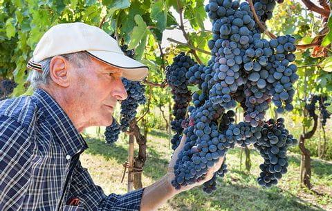 Wijnboer, wijnrank, druiven, wijn, wijnvelden