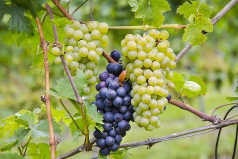 druiven, wijn, wijnrank, wijnveld