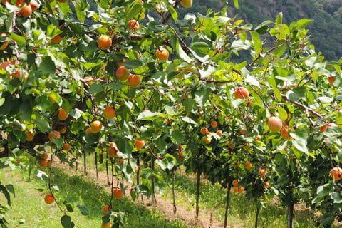 Wachau abrikoos, Abrikozen, Abricot, Oostenrijk, Donau