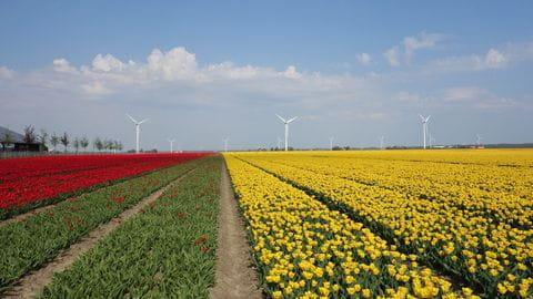 Bollenvelden, Tulpen, Nederland
