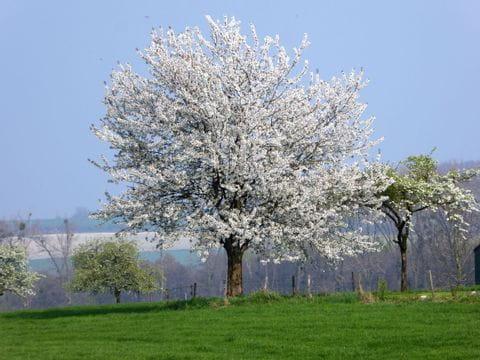 Bloesem, Limburg, voorjaar