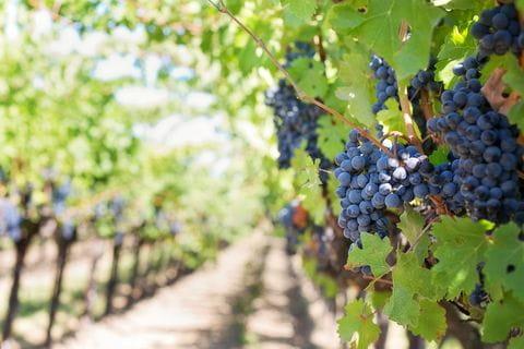 Wijnranken, wijnvelden, wijnstok